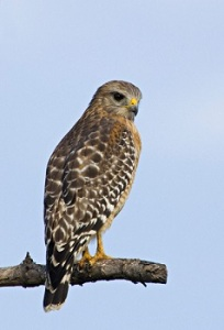 Red-shouldered-Hawk-0008