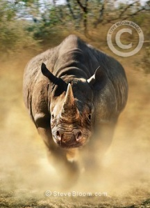 Charging black rhinoceros. Black rhinoceros (Diceros bicornis)