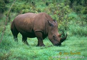 white-rhinoceros--ceratotherium-simum-2