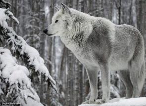 gray-wolf-tumblr-the-champion