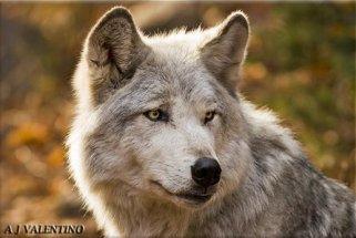 White-Gray Wolf