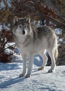 Wyoming-Gray-Wolf