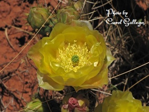 Yellow Cactus Flower-small