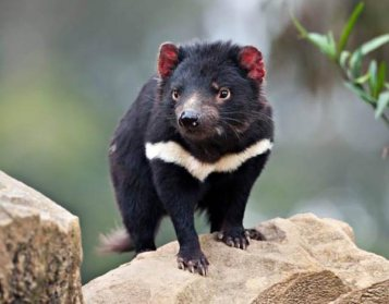 save-the-tasmanian-devil-03